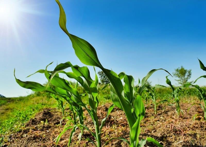 Colture geneticamente modificate autorizzate dall'UE