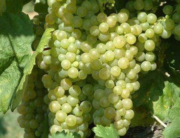 Fertirrigazione dell'uva da tavola