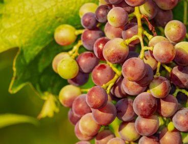 Monitoraggio nutrizionale per ottenere uva di qualità