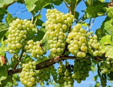 Corso di Irrigazione e Nutrizione Vegetale dellavite da tavola