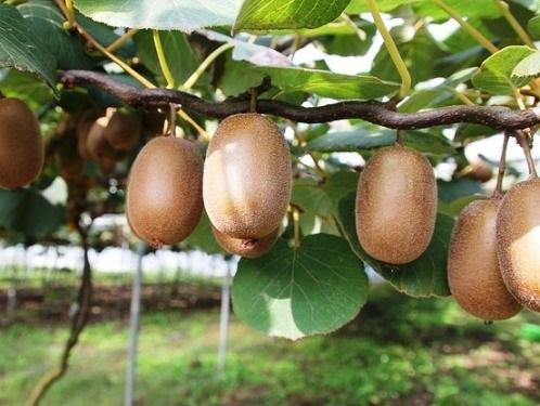 qualità dei frutti