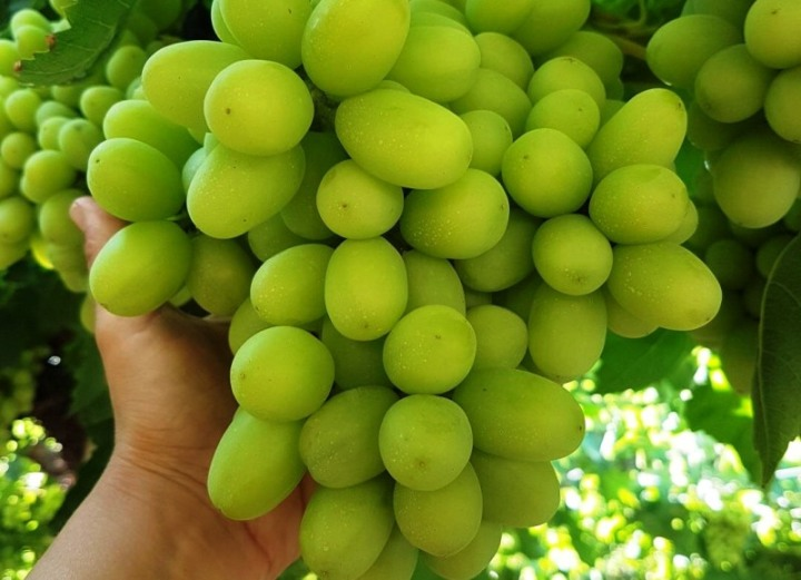 viticoltura pugliese uva da tavola